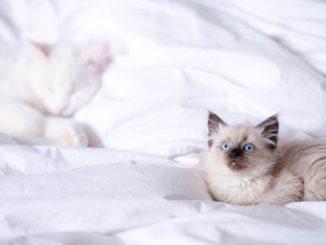 Un chat sur une couette blanche