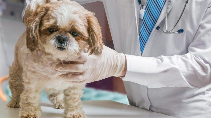 Un chien chez le vétérinaire