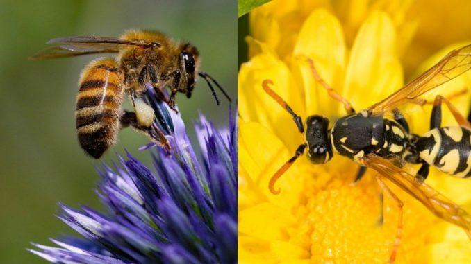 Une guêpe et une abeille