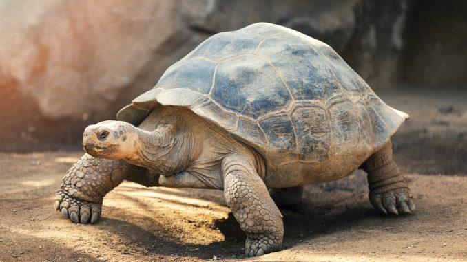Une tortue qui marche