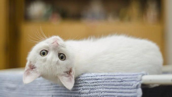 chaton blanc tapis