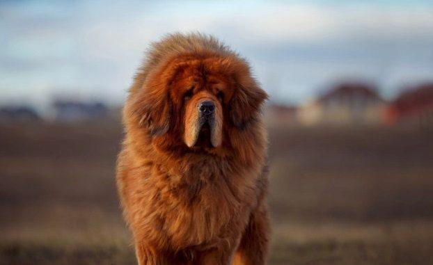 Mastiff du tibet à poils longs